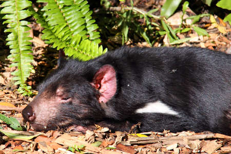 taz: Tasmanian Devil basking in the Sun. Native Australian animal and endangered species. Sarcophilus harrisii Stock Photo