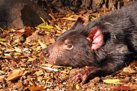 taz: Tasmanian Devil basking in the sunlight
