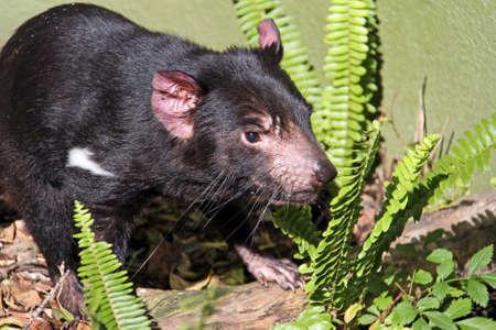 taz: Tasmanian Devil