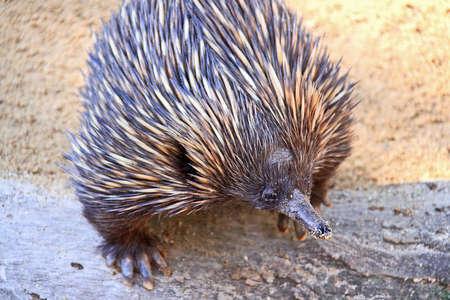 echidna: Echidna - Native Australian Animal Stock Photo