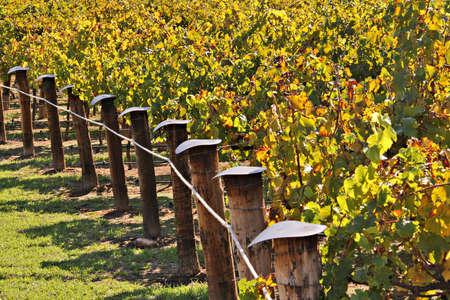 Rows of Winery Grape Vines in Autumn Colour. Adelaide, Australia Stock fotó