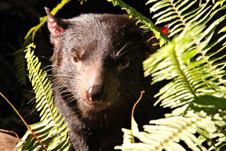 taz: Vicious looking Tasmanian Devil Stock Photo