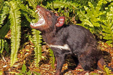 threatened: Tasmanian Devil growling. Native Australian animal and is an endangered species. Sarcophilus harrisii