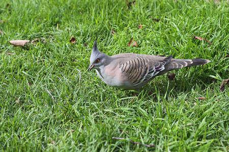native bird: Paloma crestado alimentaci�n - Ocyphaps lophotes - aves nativas australianas  Foto de archivo