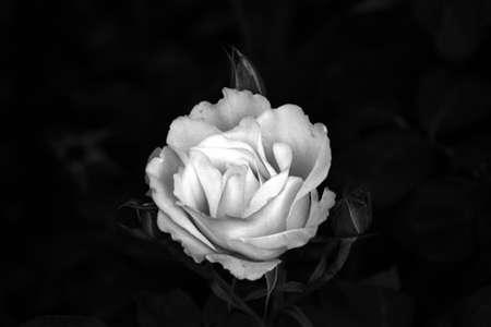 Opening Rose in Black and White.  Pink Felicity rose, variety: JACink. Stock fotó