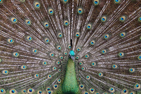 Male Green Peafowl (Peacock) - Pavo muticus - from Southeast Asia. Endangered Species photo
