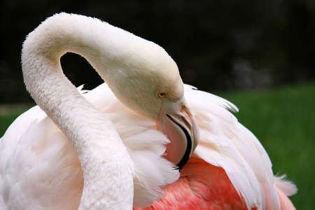 adelaide: Greater Flamingo grooming - Phoenicopterus ruber roseus.  This is the oldest known Greater Flamingo according to Wikipedia (located at Adelaide Zoo, Australia). Stock Photo