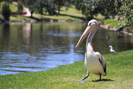 adelaide: Australian Pelican - Pelecanus Conspicillatus - along the River Torrens, Adelaide, Australia