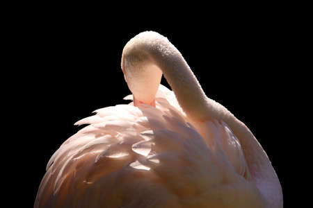 Greater Flamingo grooming - Phoenicopterus ruber roseus - Isolated on Black photo
