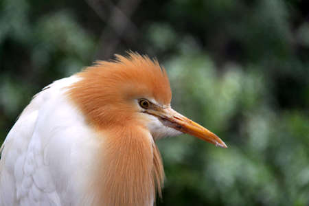 Eastern Cattle Egret in Breeding Season Plumage - ardea ibis coromanda Stock Photo