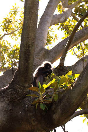 semnopithecus: Dusky Leaf Monkey (Semnopithecus obscurus) backlit & eating leaves from a Morton Bay Fig Tree
