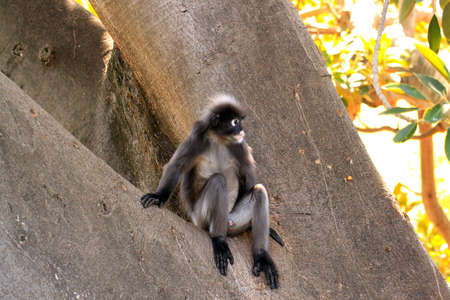 semnopithecus: Dusky Leaf Monkey - Semnopithecus obscurus - sitting in a Morton Bay Fig Tree Stock Photo