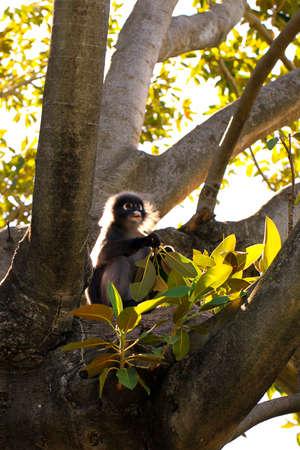semnopithecus: Backlit Dusky Leaf Monkey - eating leaves of a Mortan Bay Fig Tree