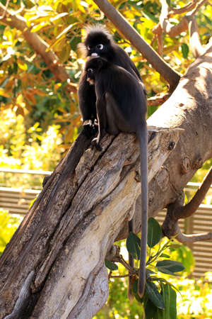 semnopithecus: Dusky Leaf Monkeys - Semnopithecus obscurus - in a Morton Bay Fig Tree Stock Photo