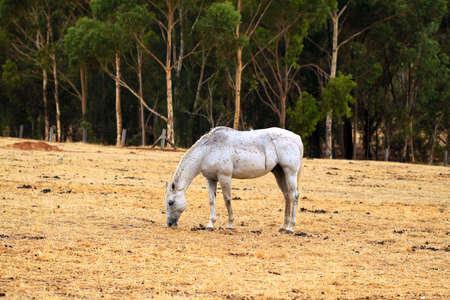 adelaide: Horse Grazing on dry grass in sloped paddock.  North Adelaide Parklands, Adelaide, Australia