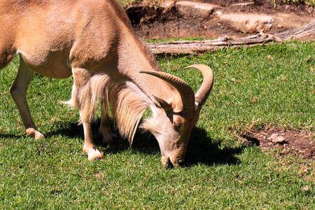 Female Barbary Sheep grazing on grass - Ammotragus lervia.  Adelaide Zoo, Australia photo