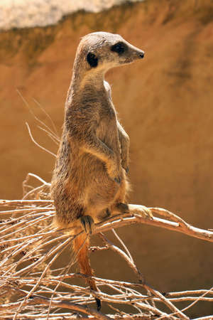 sentry: Meerkat (Surikate) standing upright as Sentry - Suricata suricatta Stock Photo
