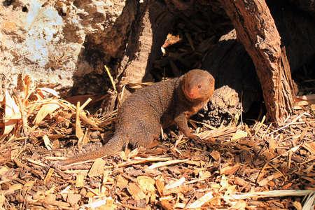 herpestidae: Dwarf Mongoose - Helogale parvula