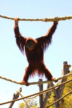 adelaide: Karta, the Sumatron Orangutan.  Adelaide Zoo, Australia