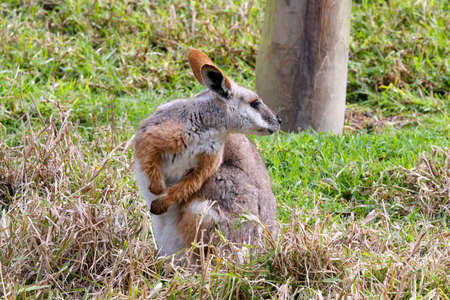 threatened: Yellow-Footed Rock-Wallaby - Native Australian Animal - Threatened Species Stock Photo