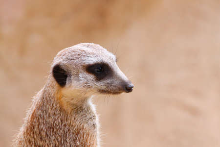 sentry: Upright Meerkat on Sentry with MatchingCamouflage Background