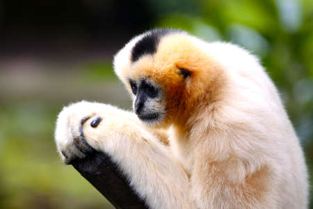 gibbon: Female White-Cheeked Gibbon with Shallow Depth of Field