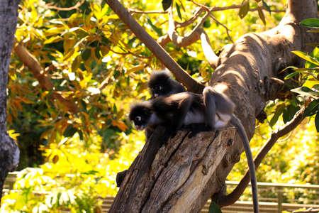 adelaide: Two Dusky-Leaf Monkeys in Tree - Trachypithecus obscurus. Adelaide Zoo, Australia