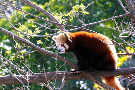 Red Panda sitting in Tree - Ailurus fulgens photo
