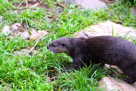 aonyx: Oriental Small-Clawed Otter - Aonyx cinerea - moving through grass