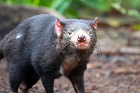 Tasmanian Devil making eye contact - Sarcophilus harrisii Stock Photo - 10901021