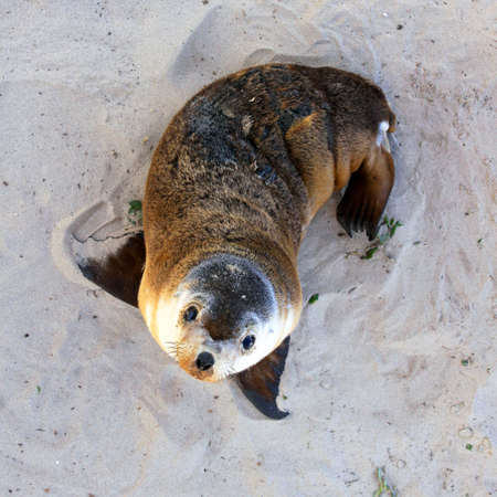 Joven Australiano Sea Lion Pup Seal Bay Conservation Park, Isla Canguro, Australia del Sur Foto de archivo