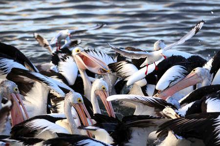 Australian Pelicans Feeding at Kingscote, Kangaroo Island, South Australia Stock fotó
