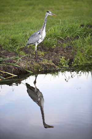 noord: Grey heron near a canal with reflection in water
