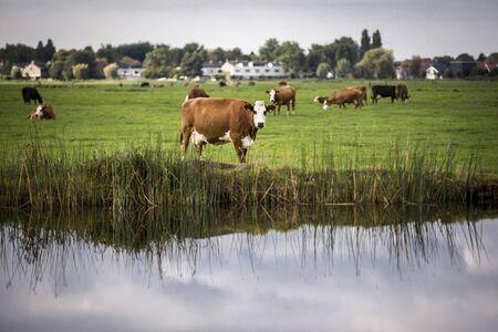 noord: Dutch Holstein dairy cow grazing in field, the Netherlands