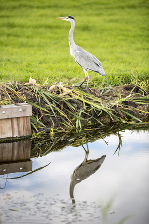grey heron: Grey heron by a canal reflecting in water