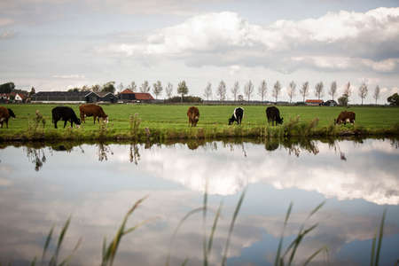 noord: cows countryside