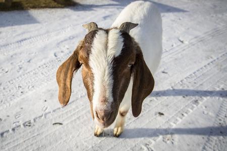 boer: African goat in a farm in Nordland, Norway