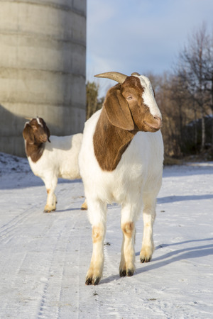 boer: African goats in a farm in Nordland, Norway
