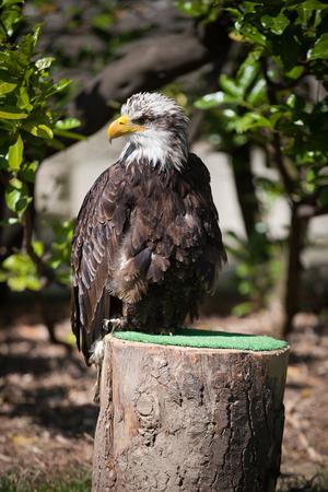 bird of prey: Falconery Bird of prey, bald eagle Stock Photo