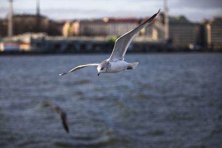 seabirds: on the sea in the offing of Helsinki with seabirds flying around Stock Photo