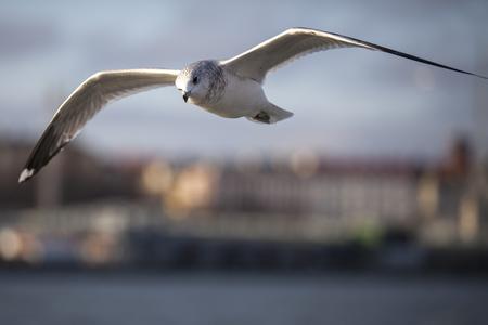 Seabird flying photo