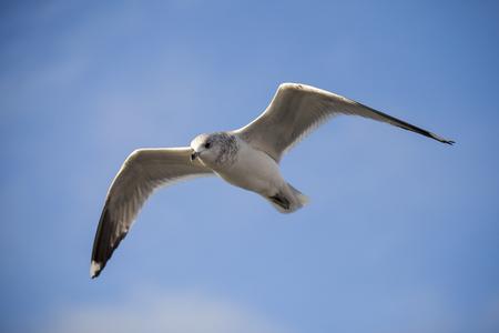 seabird: Seabird flying