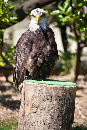Falconery Bird of prey, bald eagle photo