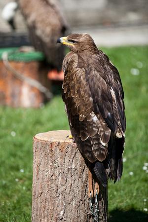 prey: Falconery Bird of prey, hawk