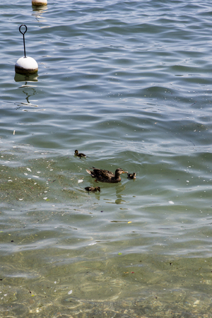 Female duck with her ducklings Stock Photo