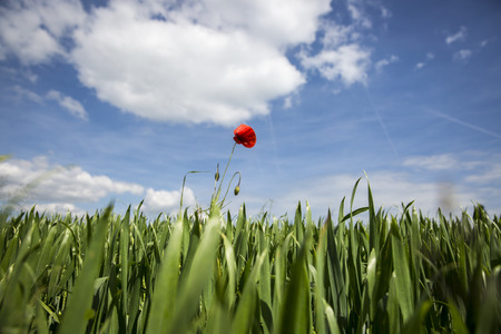 Lonely red possy flower in a green wheat fiels
