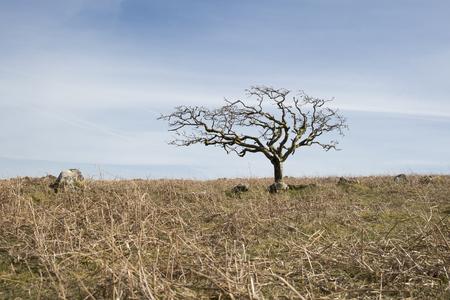 Pequeño árbol muerto en una colina de hierba seca de color amarillo con un fondo de cielo azul