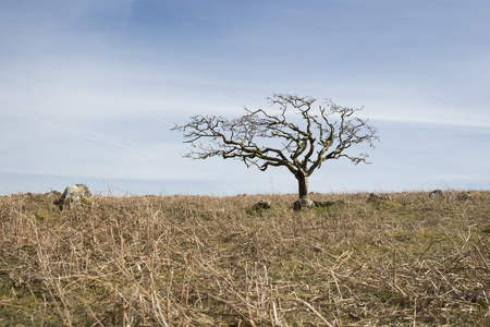 sequias: Small dead tree on a dry yellow grass hill with a blue sky background