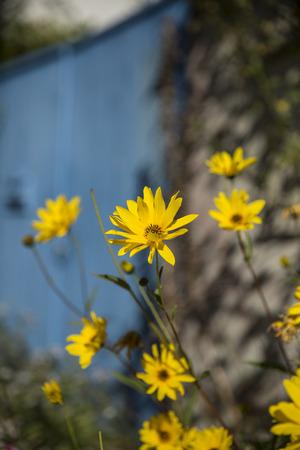 gironde: yellow flowers Yellow or Jerusalem Artichoke flower Helianthus salicifolius  in a garden with a blue wooden door as background