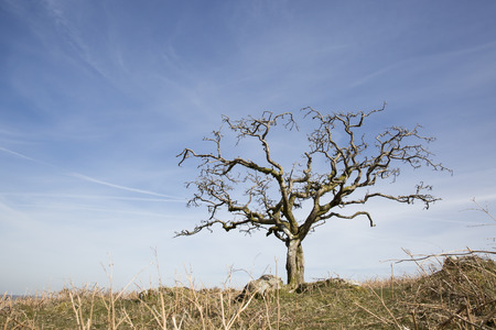 Small dead tree on a dry yellow grass hill with a blue sky background